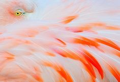 beautiful, bird, feathers, flamingo, garza!!, orange