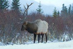 Google+ North American Elk by Mark K. Daly