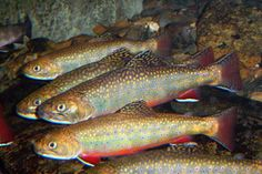 Adult brook trout feed on organisms such as worms, leeches, minnows, crayfish, amphibians, and insects. Young trout feed on plankton and progress to insects until they are adults. Photo by U.S. Fish & Wildlife Service Southeast Region on Flickr: http://www.flickr.com/photos/usfwssoutheast/7725114898/