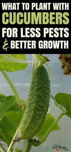 Companion Gardening Vegetable Gardening Ideas: Do you have trouble with growing great cucumbers organically? Learn about which crops make great cucumber companion plants and which ones should be kept far away in the garden. Cucumber Companion Plants, Companion Gardening, Cucumber Plant, Growing Tomatoes In Containers, Growing Vegetables, Growing Plants, Grow Tomatoes, Vegetable Garden Planner, Vegetable Gardening