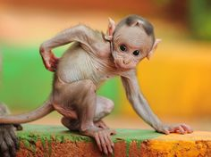 Baby Macaque, India  Photograph by Tony Campbell