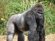 Jock,_the_Gorilla.jpg (800×600)