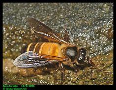 Apis Dorsata Laboriosa Bee Species Found In Nagaland