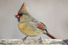 Beauty of a female Northern Cardinal. She is rolling the black-oiled sunflower seed along her beak to break open the shell before she eats the contents. Northern Cardinal, Best B, Bird Watching, Beautiful Birds, North America, Female, Contents, Feather, Shell