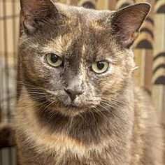 BRONX, NY - MIMI is a Domestic Shorthair for adoption who needs a loving home.