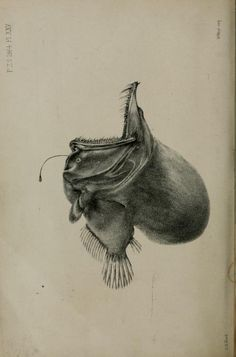 Proceedings of the Zoological Society of London, Science Illustration, Antique Illustration, Nature Illustration, Owl Skeleton, Fish Chart, Scientific Drawing, Jellyfish Art, Angler Fish, Fish Print