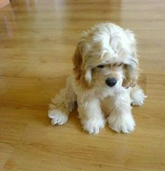 Awe...Sad Cocker Spaniel puppy