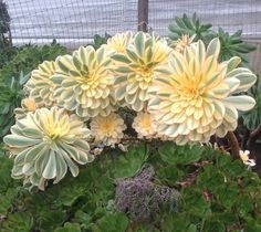 aeonium sunburst - Google Search