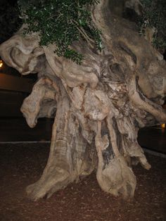 The Oldest known Olive tree | Gnarly old thing, isn't is? Beautiful and venerable too |