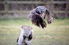 A Great Grey Owl takes off!