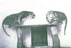 Javan Tigers. These were considered as pests in Indonesia due to land cultivation. The last specimen to have been seen was sighted in 1972, although there is evidence from track counts that the animal had lingered into the 1980's. The last track counts to yield evidence of the tigers was held in 1979, when just three tigers were identified. The leading cause of their extinction was agricultural encroachment and habitat loss, which continues to be a serious concern in Java.