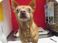 Pictures of A1792198 a Chihuahua Mix for adoption in Bonita, CA who needs a loving home.