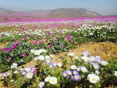 The Atacama Desert, one of the driest places on Earth, has exploded into a riot of color thanks to a rare spring flower bloom. Desert Flowers, Spring Flowers, Wild Flowers, Beautiful World, Beautiful Places, Beautiful Pictures, Red Poppies, Yellow Flowers, Rare Flowers