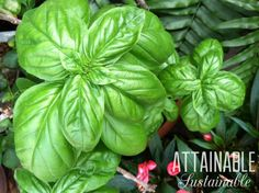 Sweet basil is a must-have for my garden, creating a source of never ending leaves. But plant some for the bees, too!