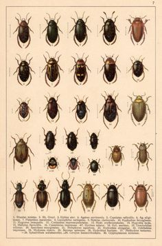 Water Beetles Antique Print Vintage Lithograph by Craftissimo, €12.00