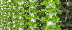 Local Tower Garden Farmer Produces Aeroponic Food for Disney, Emeril's, and other Fine OrlandoRestaurants