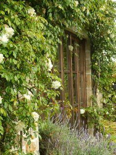 El rosal trepador, alrededor del ventanal.