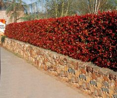 3 Photinias 'Red Robin'