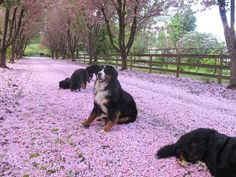 Berners in cherry blossoms