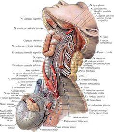 Liver Anatomy, Head Anatomy, Human Body Anatomy, Human Anatomy And Physiology, Anatomy Art, Intestines Anatomy, Neck Muscle Anatomy, Human Body Facts, Medicine Student