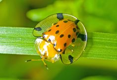 Semi-Transparent Turtle Bug