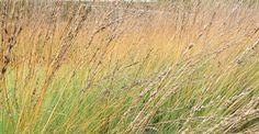 Molinia caerulea 'Heidebraut' op vasteplant.be
