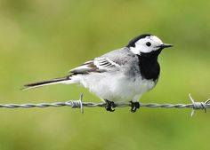 White wagtail Internet Bird Collection