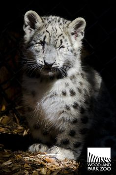 New snow leopard cubs at Woodland Park Zoo in Seattle!