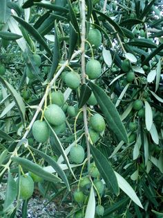 Early Harvest Comes From Green Olive Fruit Which is Collected by Hand normally in the first 20 days of October.