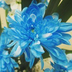 "7 Me gusta, 1 comentarios - Micaela Quizas (@mica.q77) en Instagram: ""Flowers #flowers #flower #flores #blue #red #rose #redrose #flores #azul #rojo #rosa"""