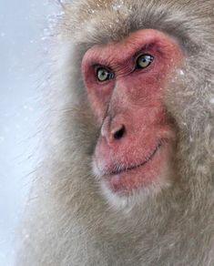 The Dominator by Marsel van Oosten (snow monkey) Primates, Mammals, Beautiful Creatures, Animals Beautiful, Cute Animals, Wildlife Photography, Animal Photography, Photography Lessons, Japanese Monkey
