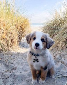 cute puppies beach \ puppies on beach . puppies at the beach . cute puppies at the beach . cute puppies on beach . cute puppies golden retriever the beach Tiny Puppies, Cute Dogs And Puppies, Baby Dogs, Doggies, Aussie Puppies, Lab Puppies, Australian Shepherd Puppies, Havanese Puppies, Australian Shepherds