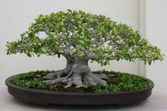 Ficus can handle pretty severe pruning, but can suffer die-back if pruned too aggressively. The Ficus Benjamina will bleed a milky white sap when pruned. Ficus Ginseng Bonsai, Bonsai Soil, Bonsai Plants, Bonsai Garden, Buy Bonsai Tree, Bonsai Trees For Sale, Bonsai Tree Care, Bonsai Tree Types, Indoor Bonsai Tree