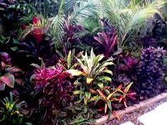 Image result for massed cordylines