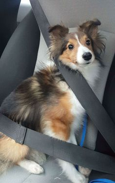 Too Cute To Be Real Shetland Sheepdog in the Car