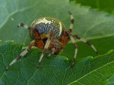 http://faaxaal.forumgratuit.ca/t3729-global-photos-d-araignees-du-quebec-arachnides-quebecois-araignee-arachnide-photos-of-spiders-of-canada-quebec-arachnids
