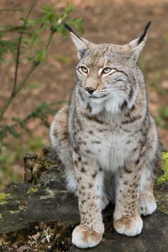 Lynx by Christian on 500px*
