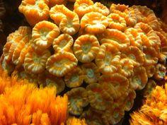 ˚Brain Coral