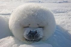 Sleeping Seal with Snow and Sun - Cute!