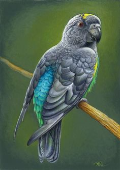Meyer's Parrot  Print by heliocyan on Etsy,