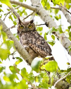 Nature Photography Great Horned Owl  by sherivwphotography on Etsy, $25.00