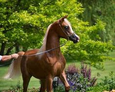Truse (Trussardi x Juliah)  2012 Chestnut Colt  Truse is the results of many years of careful calculated breeding and an extreme knowledge of the Arabian horse. He is owned and bred by Bob, Janene, Austin & Olivia Boggs of Midwest Station I. We all look forward to this bright young stars future! Photo credit - Stuart Vesty