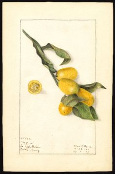 Artist: Lower, Elsie E., b. 1882 Scientific name: Fortunella Common name: kumquats Variety: Nagami Geographic origin: Baton Rouge, Louisiana, United States Physical description: 1 art original : col. ; 17 x 26 cm. Specimen: 45822 Year: 1909 Date created: 1909-12-01
