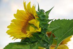 Sunflower reaching for the sky