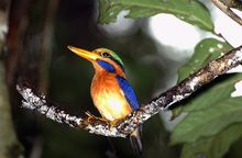 The Rufous-collared Kingfisher is categorised as near-threatened due to the rapid loss of its rainforest habitat