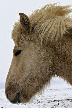 Icelandic Horse by Ingólfur, via Flickr