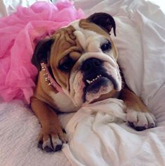 Another bulldog in a pink tutu? These just never get old!