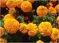 A bársonyvirág elűzi a kártevőket kertünkből Green Garden, Garden Plants, Lush Green, Flora, Gardening, Paper, Lawn And Garden, Plants, Horticulture