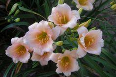 Hemerocallis 'Mini Pearl'. Small, re-blooming.