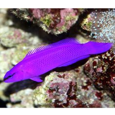 Fridmani dottyback (Pseudochromis fridmani)